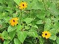 Starr-110307-2322-Thunbergia alata-flowers and leaves-Kula Botanical Garden-Maui (24449969013).jpg