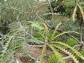 Starr-110307-2660-Banksia speciosa-leaves-Kula Botanical Garden-Maui (24447828724).jpg