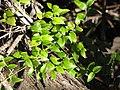 Starr-110331-4377-Asparagus asparagoides-leaves-Shibuya Farm Kula-Maui (24988343161).jpg