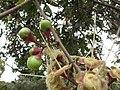 Starr-110629-6421-Syzygium jambos-flower buds-Ulupalakua-Maui (24470691533).jpg