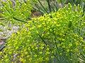 Starr-120415-4668-Anethum graveolens-flowers-Hawea Pl Olinda-Maui (24512604823).jpg