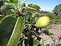 Starr-130201-1600-Pyrus communis-var Hood immature fruit-Hawea Pl Olinda-Maui (25178858226).jpg