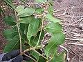 Starr-130319-3157-Cupaniopsis anacardioides-flowering branch-Kilauea Pt NWR-Kauai (24913125570).jpg