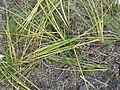 Starr-150331-0800-Cyperus laevigatus-transplanted-Brackish Pond Sand Island-Midway Atoll (25153234402).jpg