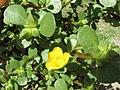 Starr-170208-6804-Portulaca lutea-flowers leaves-Maui Nui Botanical Garden Kahului-Maui (33225027772).jpg