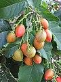 Starr-170913-0183-Bunchosia argentea-fruit leaves-CTAHR Urban Garden Center Pearl City-Oahu - Flickr - Starr Environmental.jpg