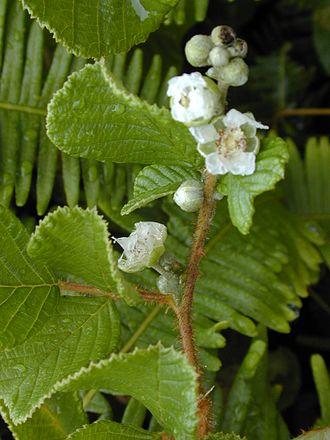 Rubus ellipticus - Rubus ellipticus (flowers and leaves