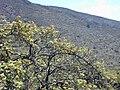 Starr 030419-0099 Coprosma montana.jpg