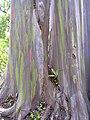 Starr 030807-0005 Eucalyptus deglupta.jpg