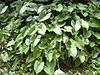 Starr 030807-0139 Xanthosoma robustum