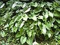 Starr 030807-0139 Xanthosoma robustum.jpg