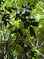 Starr 040601-0009 Alectryon macrococcus var. macrococcus.jpg