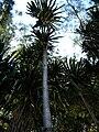 Starr 050107-2835 Pandanus tectorius.jpg