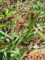 Starr 050419-0388 Mimosa pudica.jpg