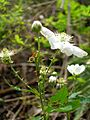 Starr 050501-1086 Rubus argutus.jpg