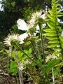 Starr 050501-1088 Rubus argutus.jpg