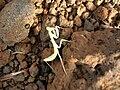 Starr 051019-4919 Cenchrus ciliaris.jpg