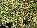 Starr 060922-9099 Bougainvillea sp..jpg