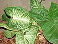 Starr 070124-3837 Syngonium podophyllum.jpg