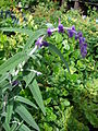 Starr 080117-1979 Salvia leucantha.jpg
