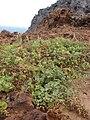 Starr 080314-3524 Chenopodium oahuense.jpg