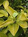 Starr 080607-7315 Ficus microcarpa.jpg