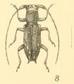 Stathmodera lineata Gahan 1890.png