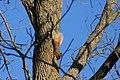 Stirling Squirrels 0009 (4098431787).jpg