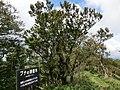Strange beech at Mt.watamuki02.jpg