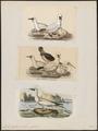 Sula bassana - 1700-1880 - Print - Iconographia Zoologica - Special Collections University of Amsterdam - UBA01 IZ18000043.tif