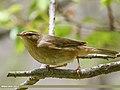 Sulphur-bellied Warbler (Phylloscopus griseolus) (34891641506).jpg