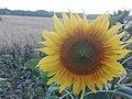 Sunflower Dortmund 28.jpg