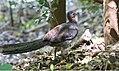 Superb Lyrebird (Menura novaehollandiae) (30571971863).jpg