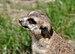 Suricata suricatta qtl4.jpg