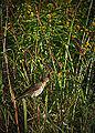 Swainson's Thrush (15085141800).jpg