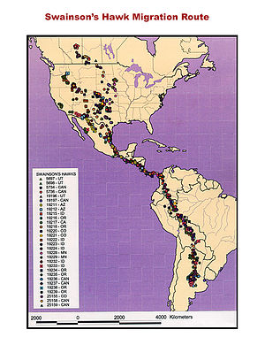 Swainson's hawk - Swainson's hawk migration route. 30 birds were fitted with satellite tracking devices to produce this map
