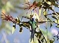 Swallow-tailed Hummingbird (Eupetomena macroura) on the red flowers of Erva-de-Passerinho (Psittacanthus calyculatus) - Flickr - berniedup.jpg