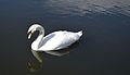 Swan on the Forth and Clyde canal - panoramio.jpg