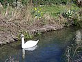 Swan on the River Ebble - geograph.org.uk - 718634.jpg