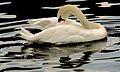Swimming Swan, Boston Public Garden, Boston, Massachusetts.JPG