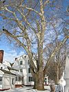 Sycamore tree in front of Hatheway House, Suffield, CT - December 31, 2010