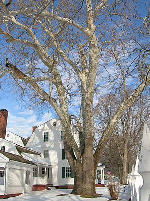 Suffield, Connecticut - Sycamore tree at Hatheway House