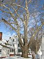 Sycamore tree in front of Hatheway House, Suffield, CT - December 31, 2010.jpg