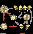 Symbiodinium Life Cycle.png