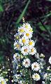 Symphyotrichum ericoides NRCS-1.jpg