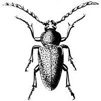 Sypilus orbignyi.jpg