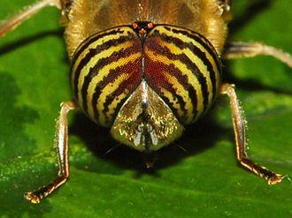 Eristalinus taeniops - Image: Syrphidae Eristalinus taeniops