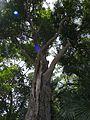 Syzygium floribundum.jpg