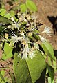Syzygium zeylanicum 07.JPG