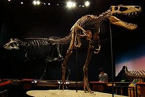 """Nanotyrannus - """"Jane"""" specimen in the Burpee Museum"""